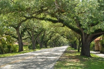 Oak trees lining Coral Way in Coral Gables