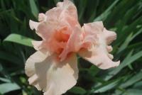 Iris kelly