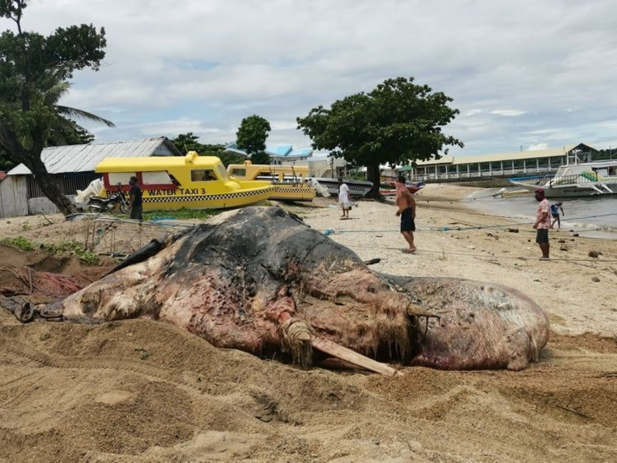 Update: Dead whale found in Boracay buried today