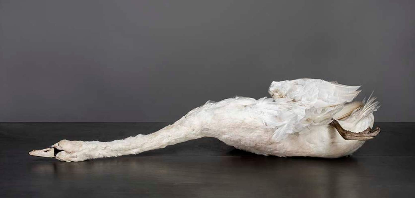 Zwaan Karin Borghouts70x140cm