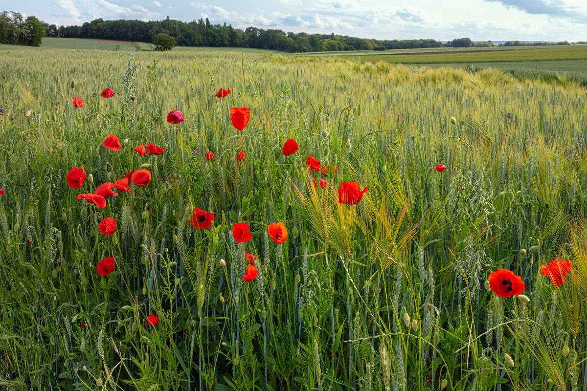 Vincentwashere Auvers Landscape Poppies