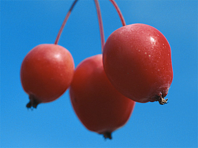 cherries.original1