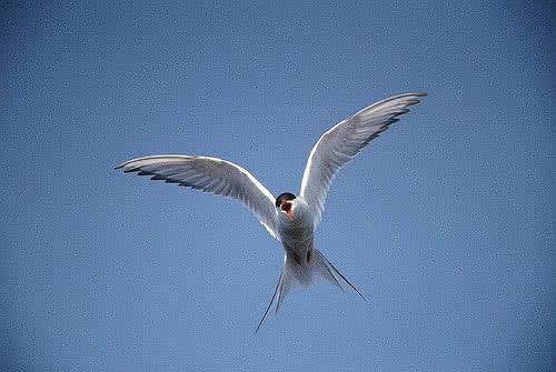 Une sterne arctique, de 33à 36centimètres de long avec une envergure de 76à 85cm. Le plumage des adultes est gris sur les parties supérieures avec la nuque et la calotte noires et les joues blanches. Le bec, les pattes et les doigts palmés sont rouge foncé.
