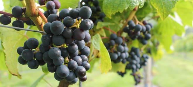 Llaethliw Vineyard