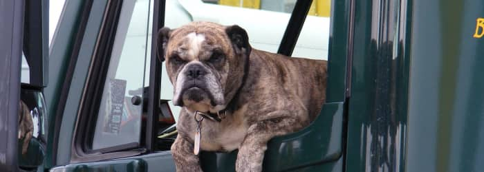 Driving with pets - does your dog need to wear a seatbelt?