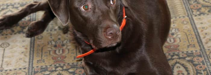 Electric shock pet collars to be banned in England