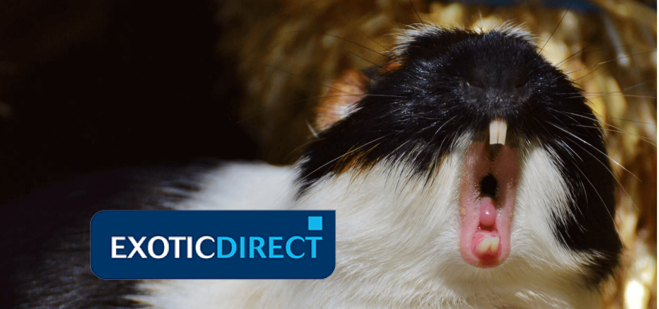 How to stop Guinea Pigs from fighting and biting - ExoticDirect