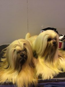 Two dogs at crufts