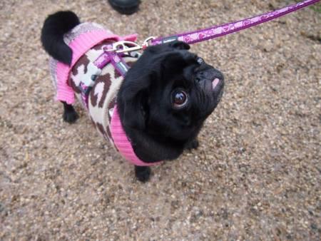 A pug on a walk