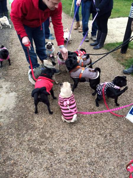 A lot of pug dogs on leads