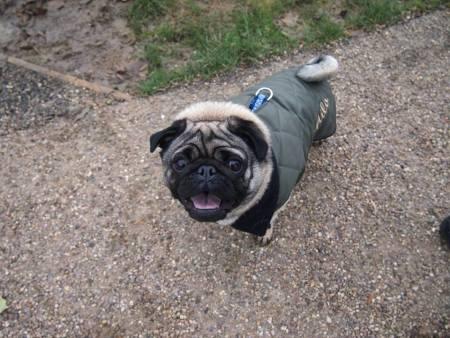 A pug on a lead