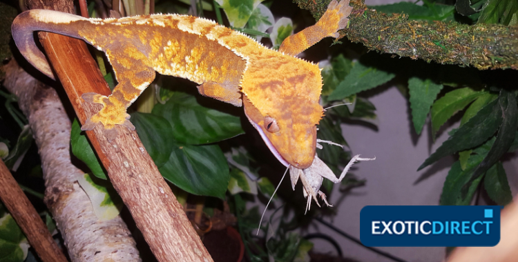 crested gecko eating an insect