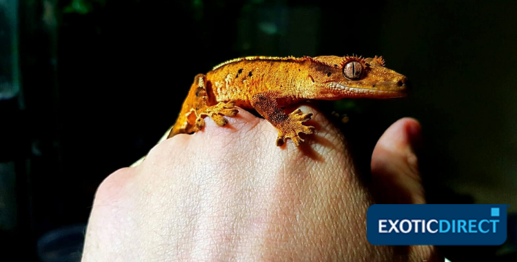 crested gecko on someone's hand
