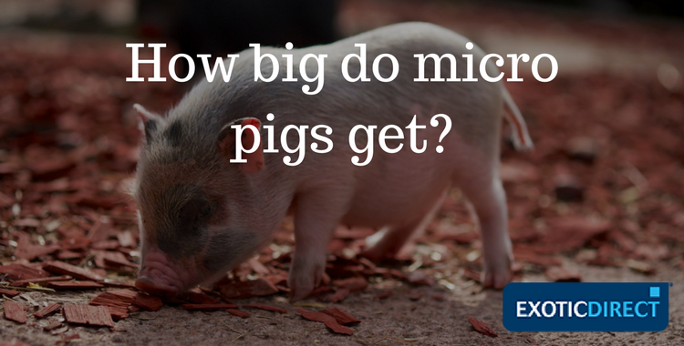 Micro pig care advice how to look after a pet pig exoticdirect micro pigs are selectively bred to be smaller than farm pigs publicscrutiny Choice Image