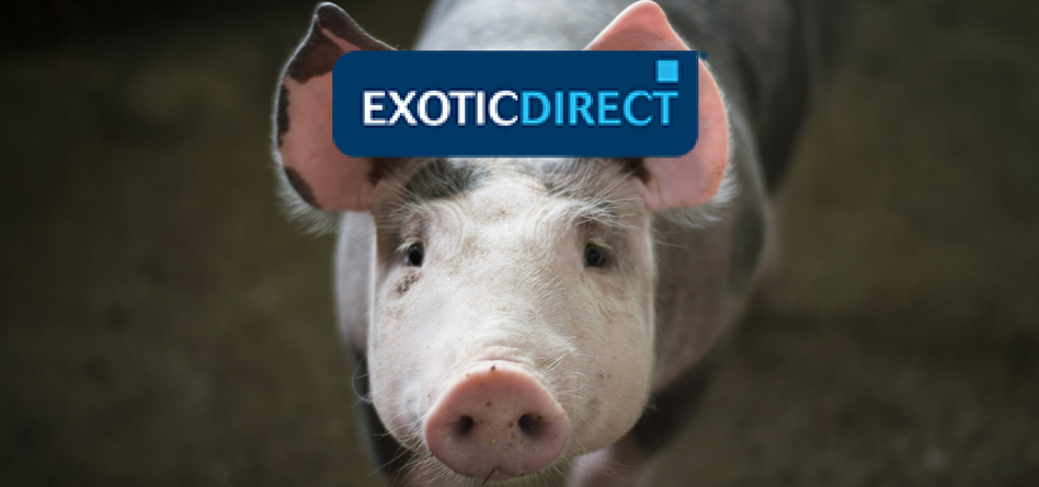 Micro pig care advice how to look after a pet pig exoticdirect micro pigs mini pigs or teacup pigs are the terms used to describe pigs bred and kept for companionship the four most popular species bred as pets are publicscrutiny Choice Image