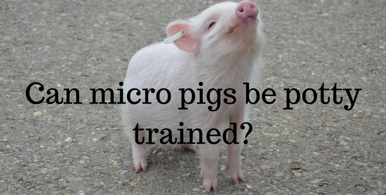 Micro pig care advice how to look after a pet pig exoticdirect micro pigs need to be spayed or neutered in order to be effectively potty trained publicscrutiny Choice Image