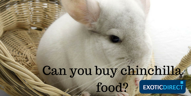 chinchilla eating a food pellet