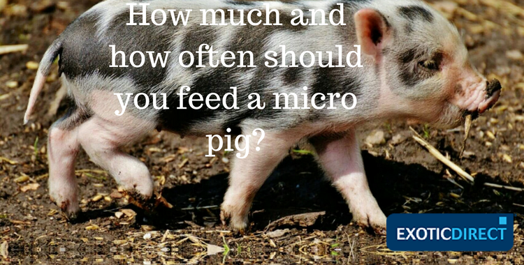 Mini pig diet – what's the best food for your pet pig