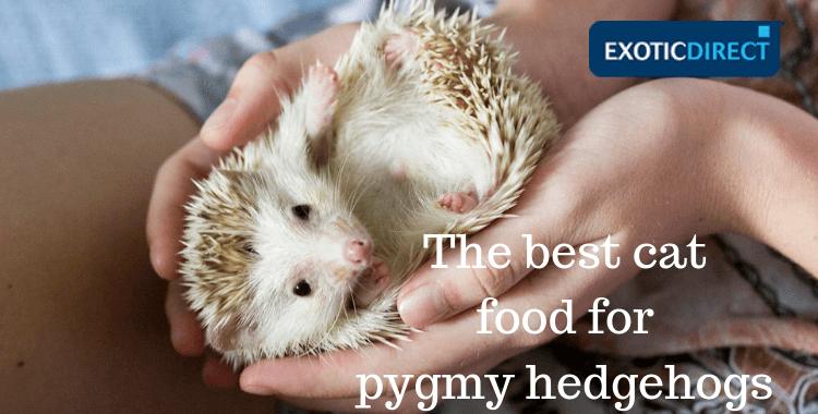 hedgehog eating cat food