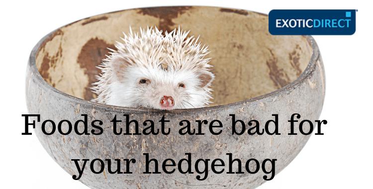 pygmy hedgehog eating peanuts