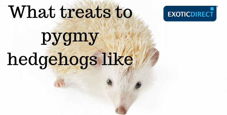Pet pygmy hedgehog look into the camera cheekily