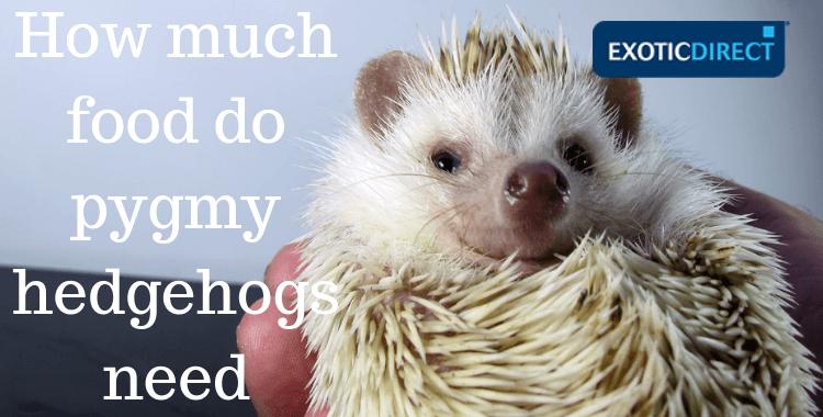 pet pygmy hedgehog looking into camera