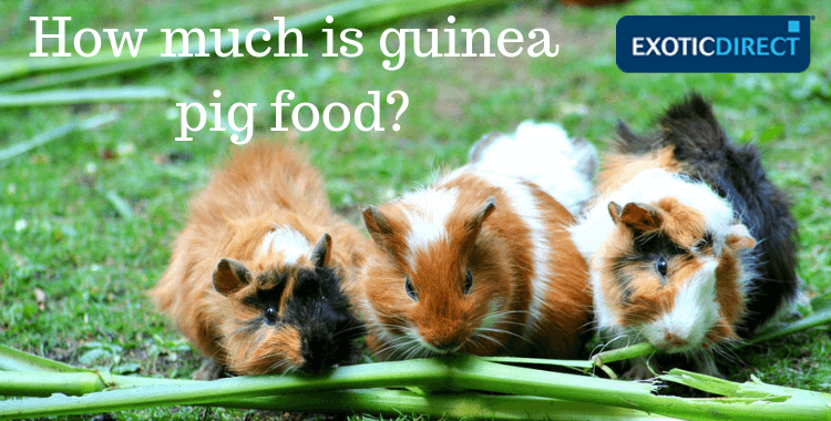 Three guinea pigs munching on grass