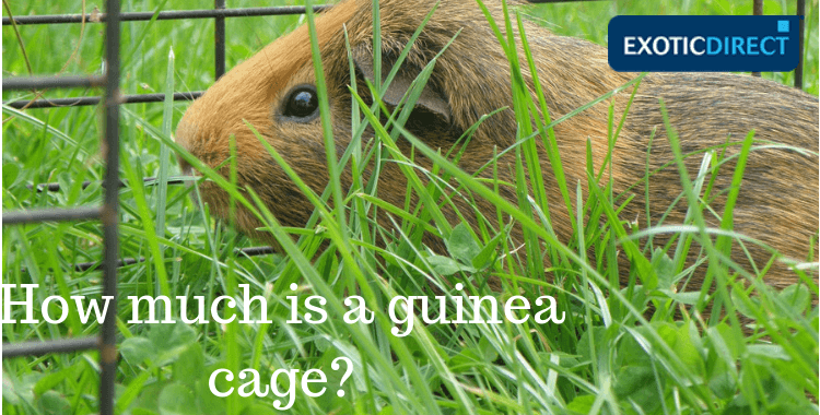 Brown guinea pig in its cage grazing on grass