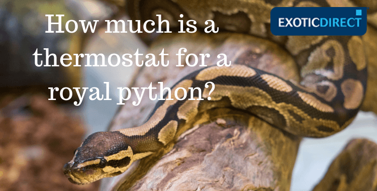 Royal python on a branch inside vivarium