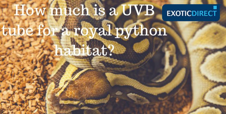 Royal python in its vivarium