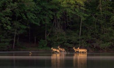 Four whitetail deer splashing around in the shallow end.