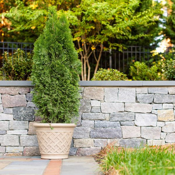 Tall fern plant in a pot placed on stone paver patio