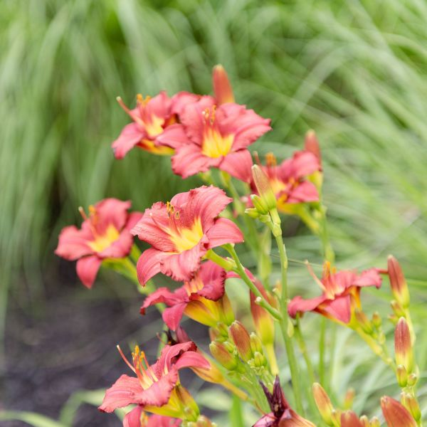 Red daylily with grasses in the landscape