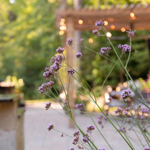 Upright verbena with patio in the background