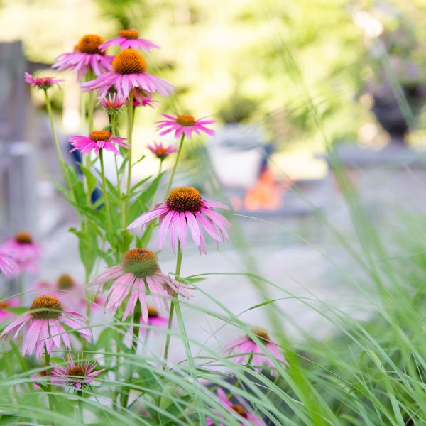 Purple coneflower with switch grass and fire pit in the background