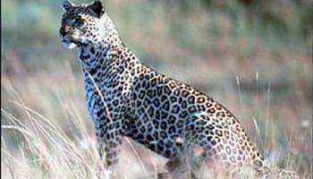 _622452_leopard300