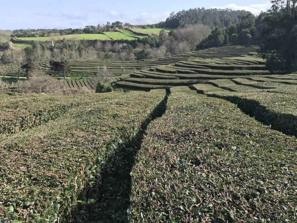 Jediná čajová plantáž v Evropě.