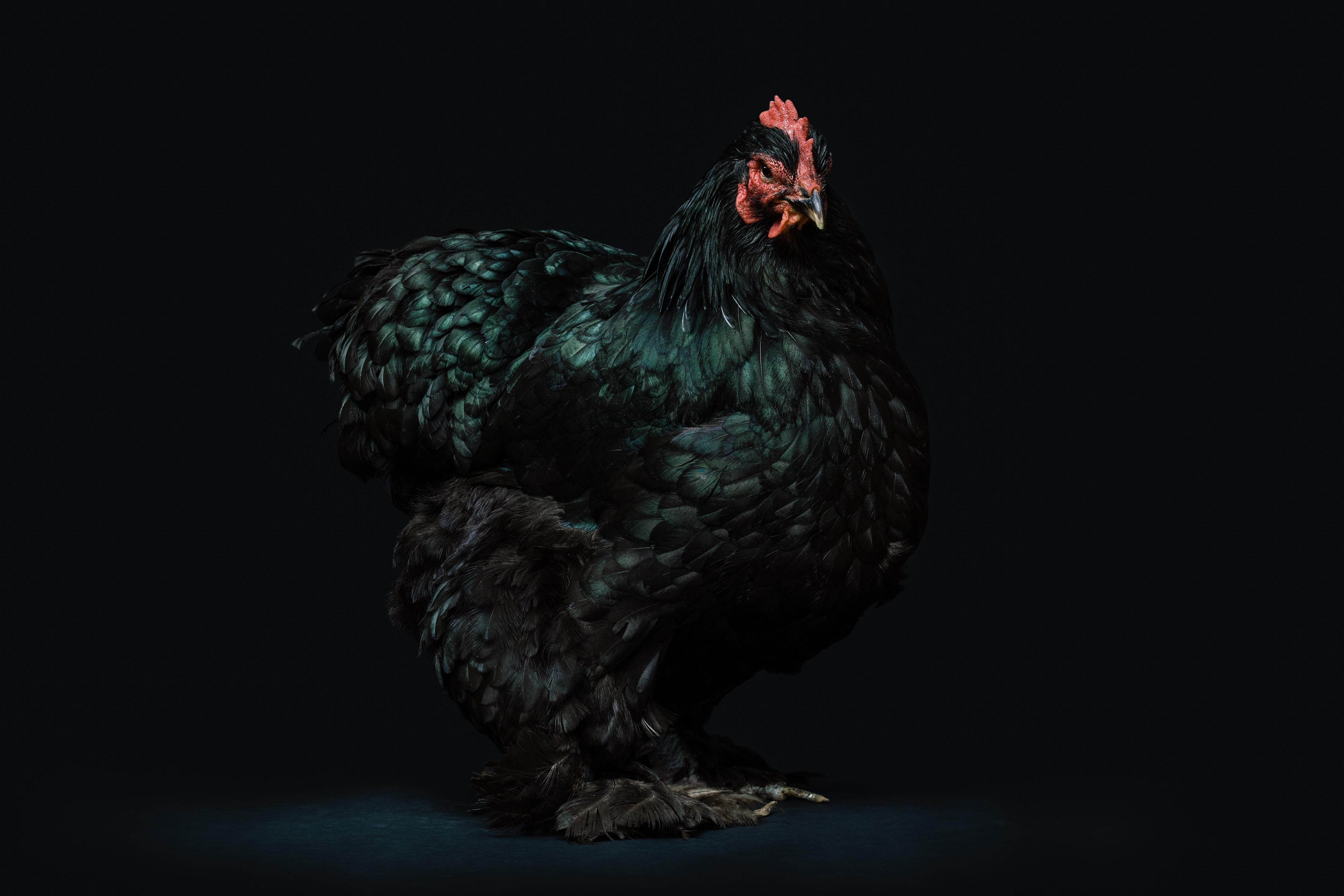 pjolter_image_rooster