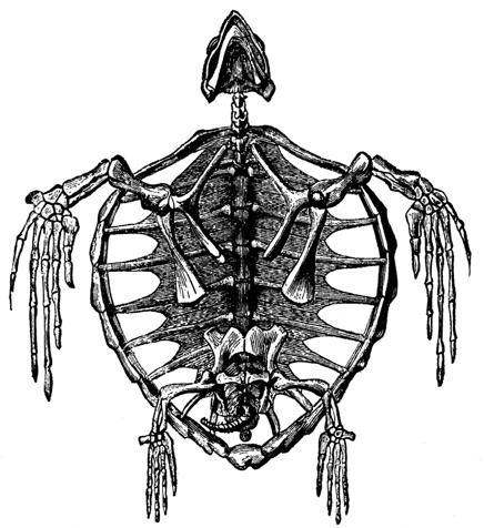 skeleton_turtle