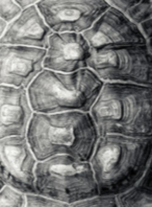 skeleton_tortoise