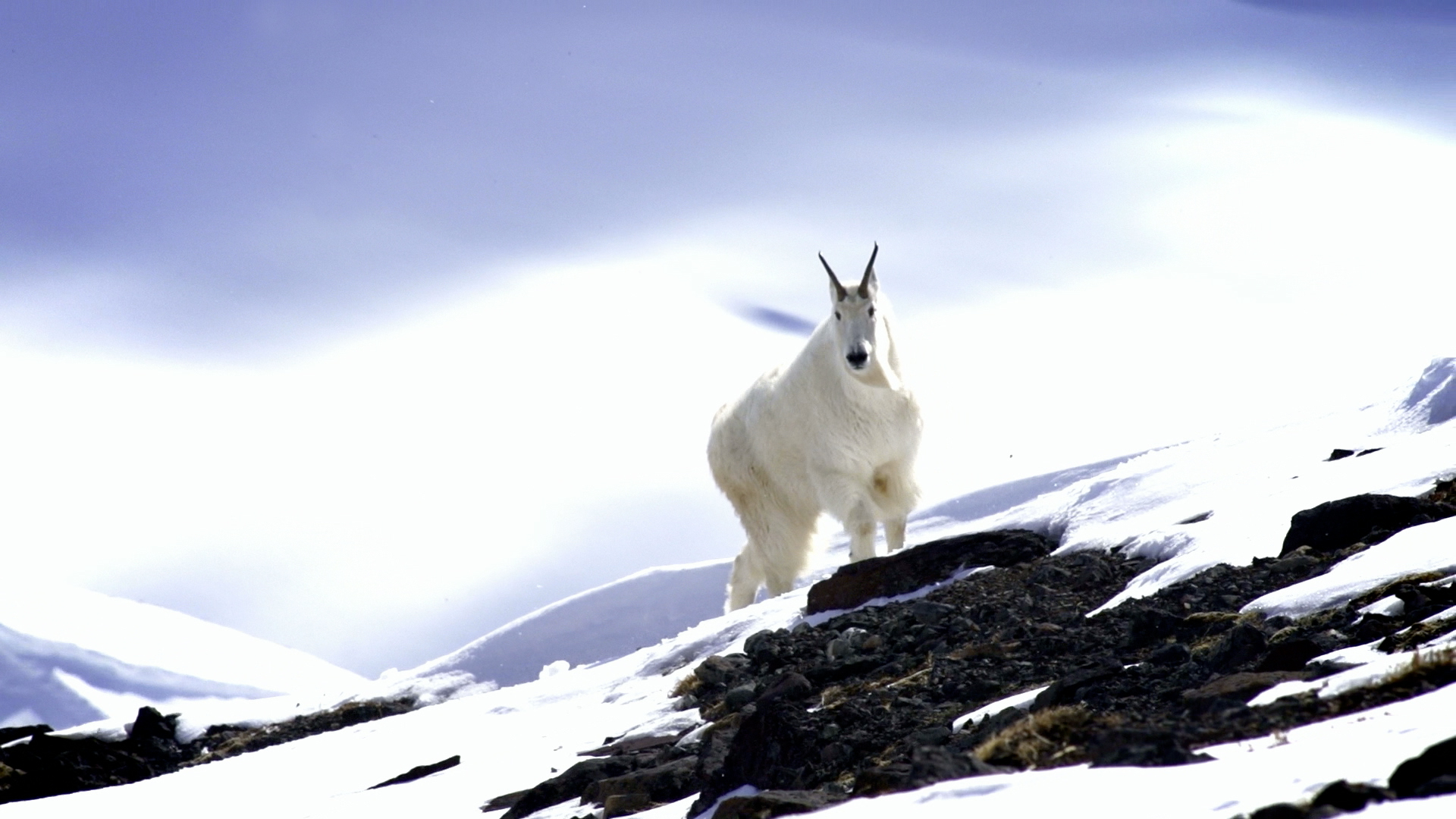 Airtime_Photo_Goat
