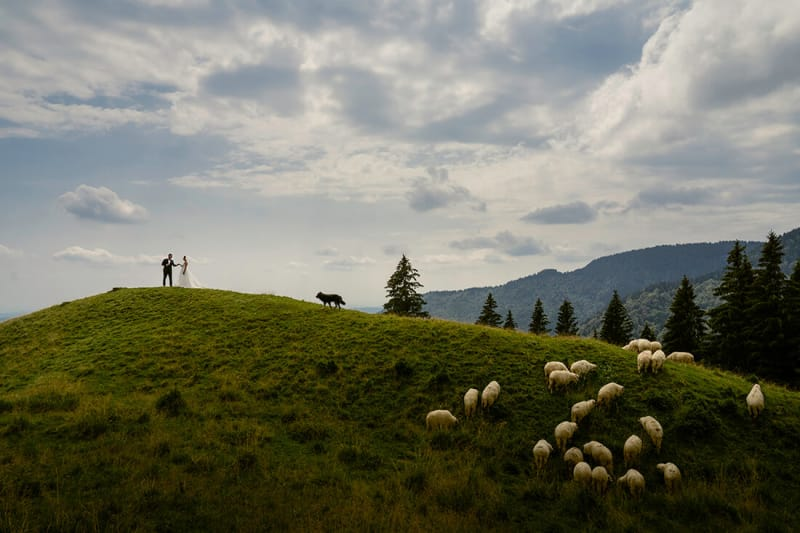 newlyweds on a hill with sheep and wolf