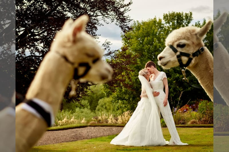 two brides and two llamas