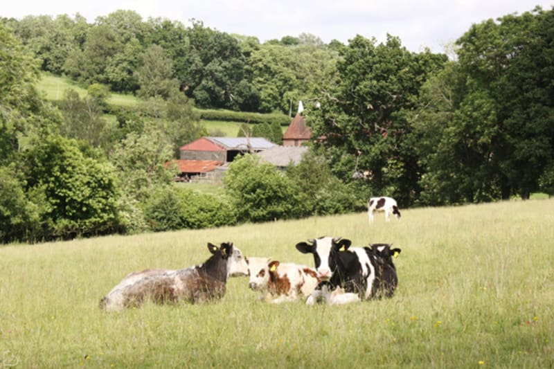 cows sitting on a hill near the oark barn venue