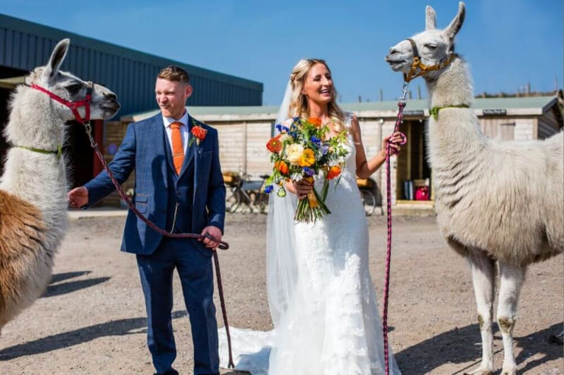 The couple hold two llamas on a leash.