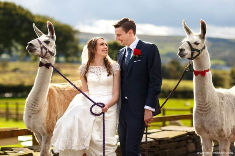 Bride and groom smile at each other while holding two llamas on leads.