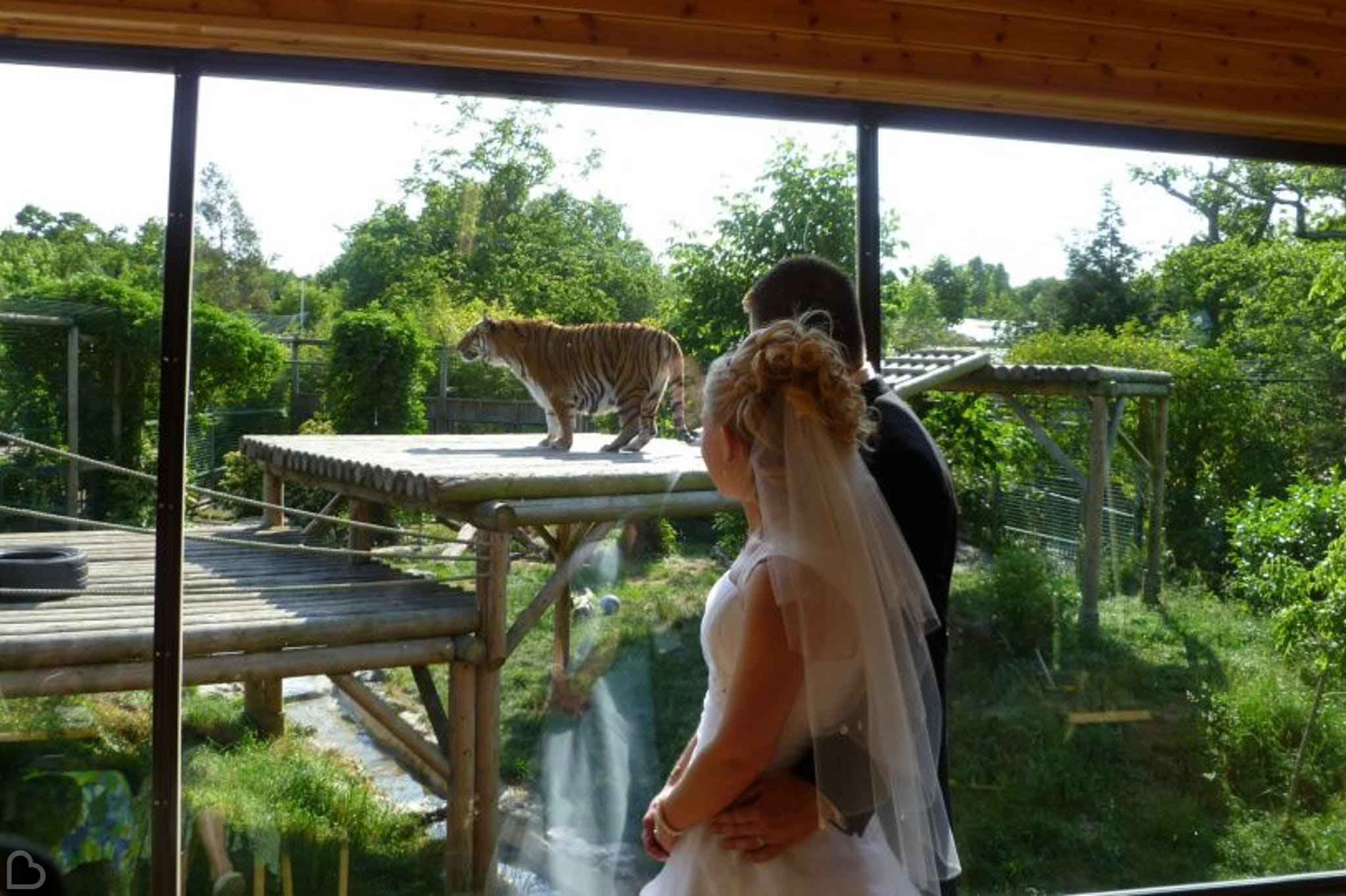 newlyweds look at tiger at paradise wildlife park