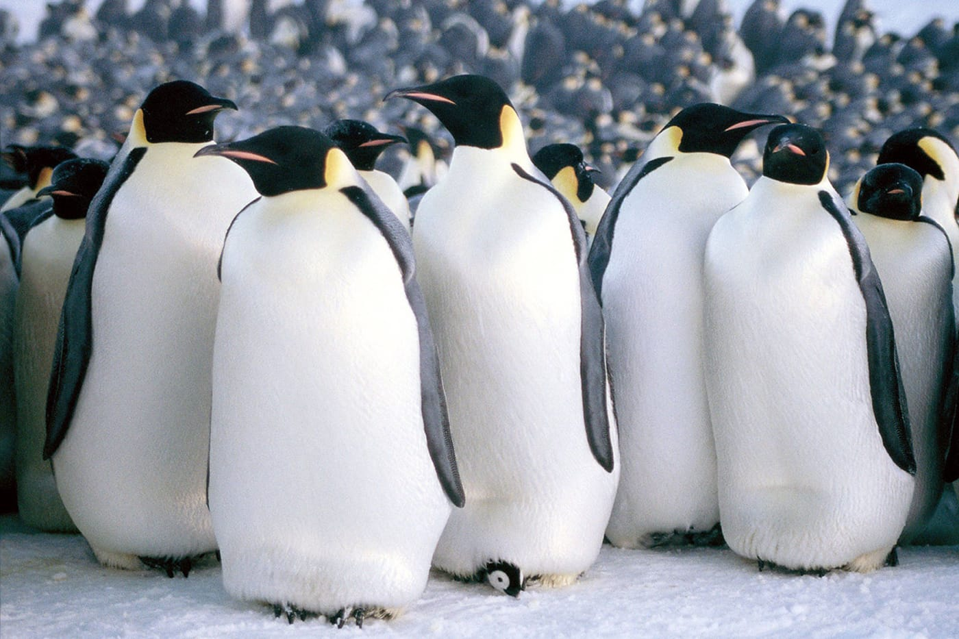 Docs 4 Tots | March of the Penguins