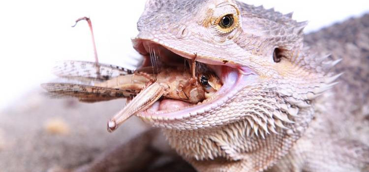 Bearded Dragon Live Food Diet