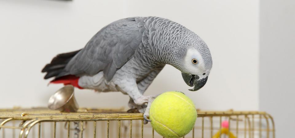 timneh and african grey parrot upgraded to appendix 1 of